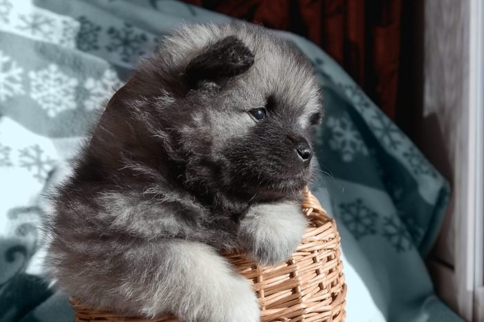 Keeskhond puppy in a basket looks out the window