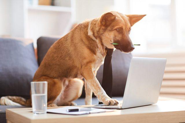 dog on laptop