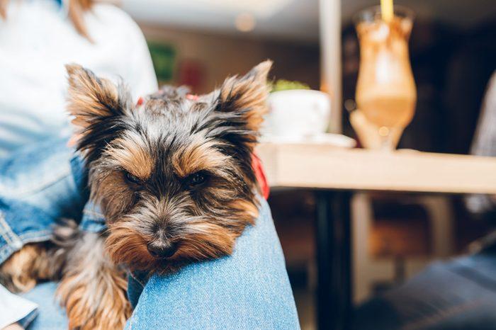 cute Yorkshire terrier lap dog