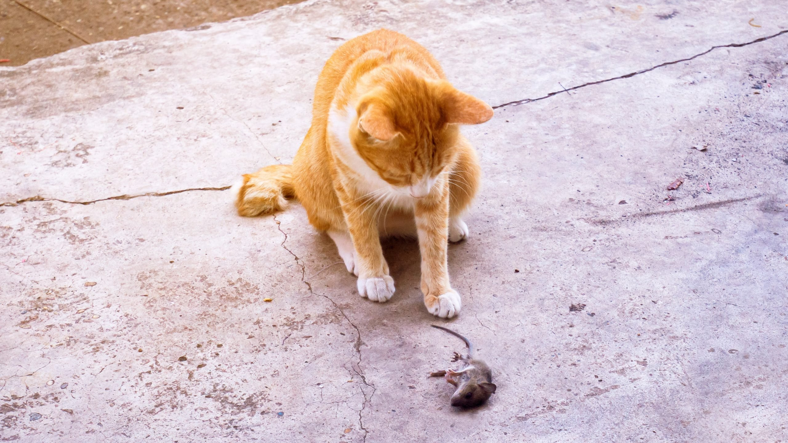 cat looking a a mouse that he caught