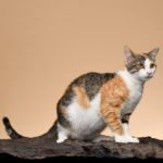 12 Rare Cat Breeds You Probably Don't Know About