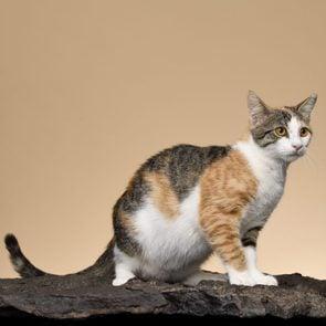 devon rex cat rare cat breeds