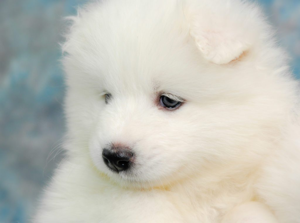 samoyed dog puppy lovely