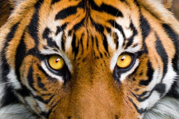 close up tiger face eyes