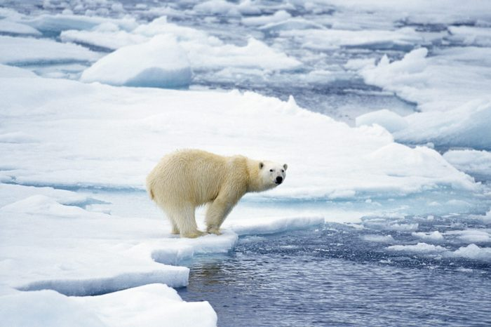 polar bear warm ocean global warming