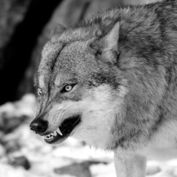 The Chilling Story of a Wolf That Tore Into a Family's Tent During the Night
