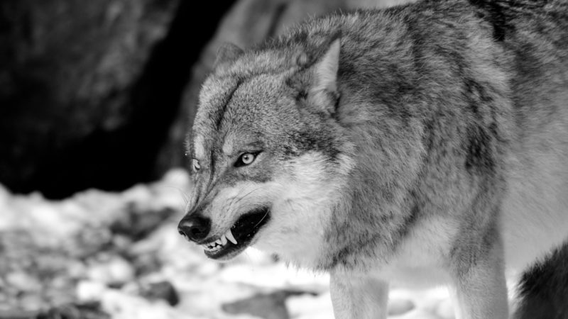 wolf snarling