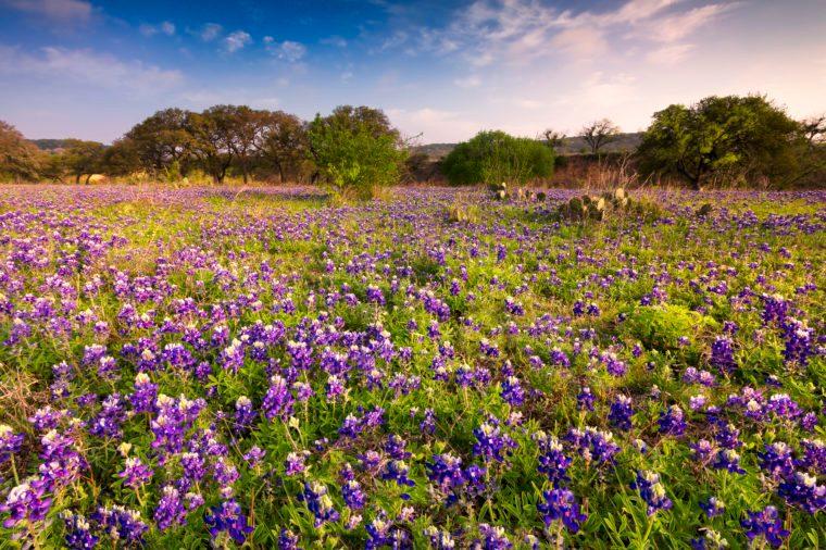 Bluebonnets field in the Fredericksburg Texas