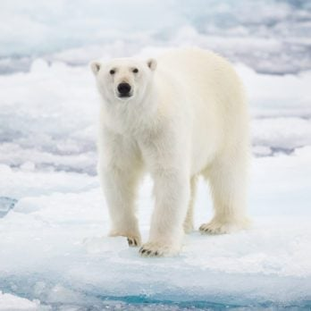 Why Do Polar Bears Need Ice to Survive?
