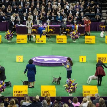8 Reasons Dogs Get Disqualified at Westminster