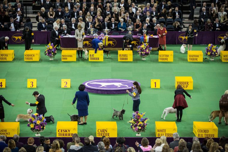 westminster dog show rin madison square garden