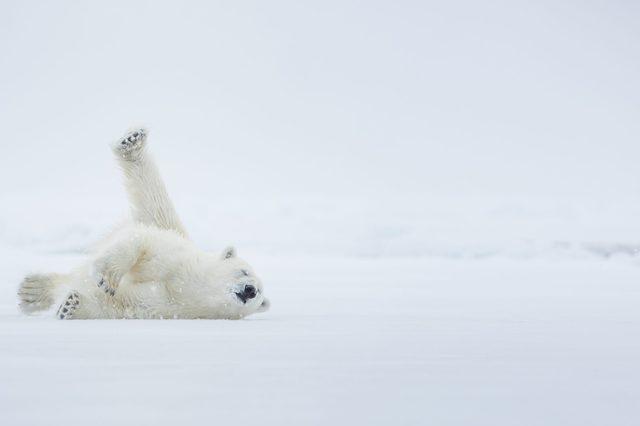 Polar bear on ice. Arctic sea.