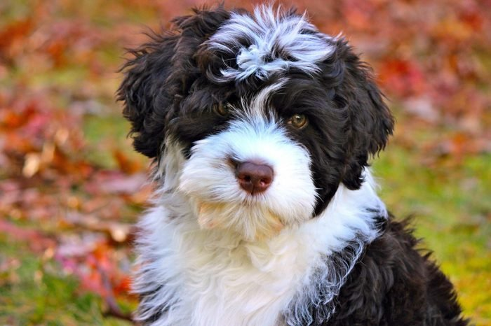 Portuguese Water Dog Puppy in Fall Leaves