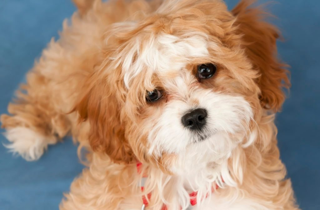 Four Month old Cavapoo Puppy