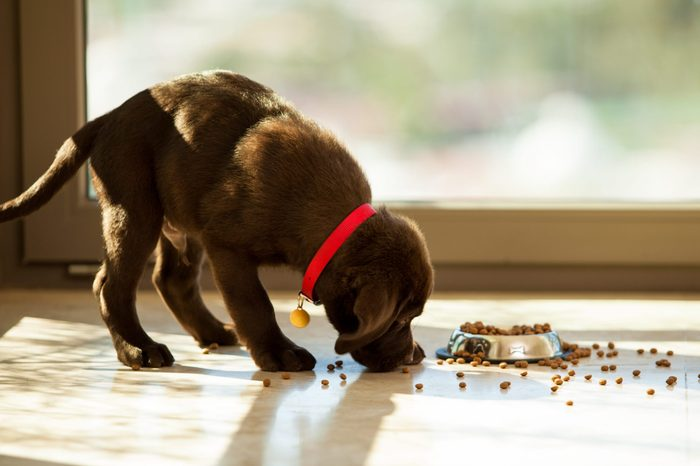 large breed puppy eating