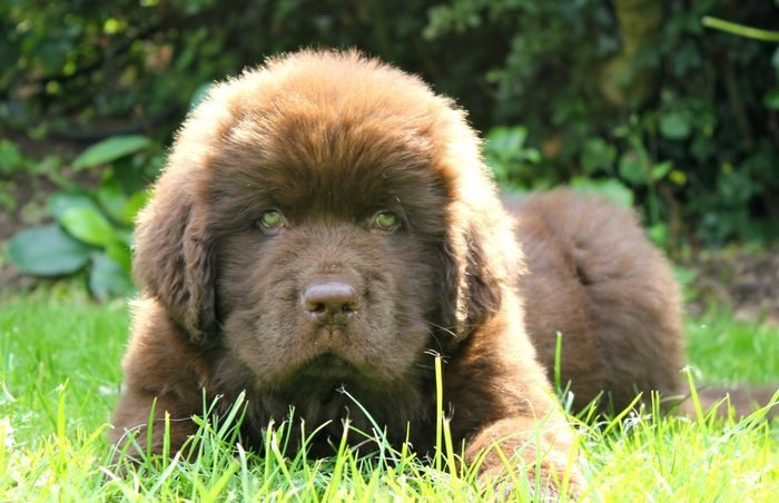 Newfoundland Puppy brown at 10 weeks old