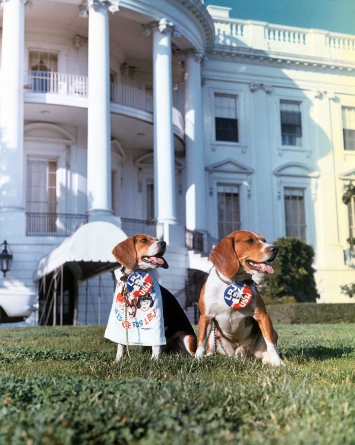beagles white house dogs