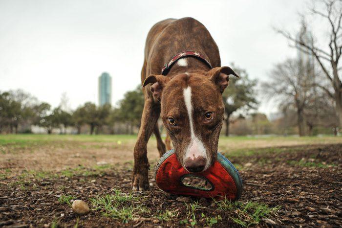 pitbull dog austin texas