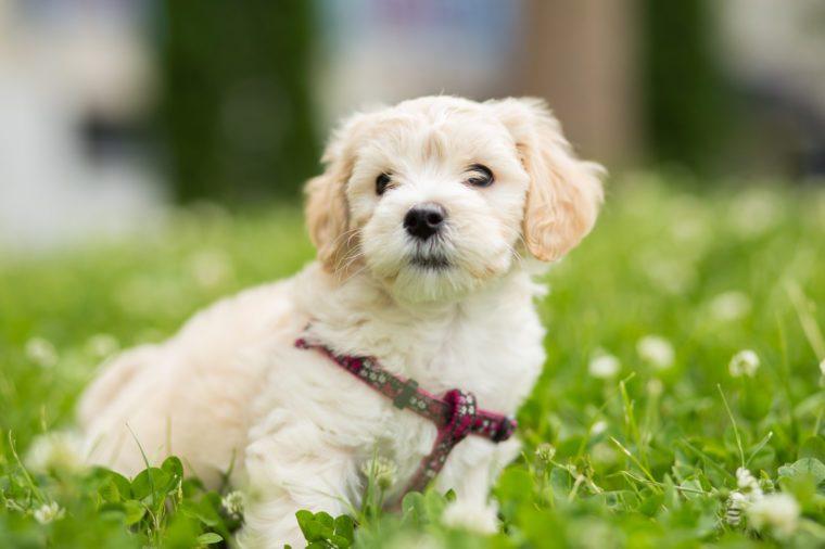 Cute little bichon posing in grass
