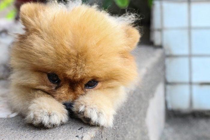 pom pom pomeranian puppy