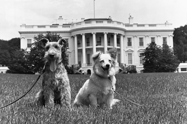 dogs white house