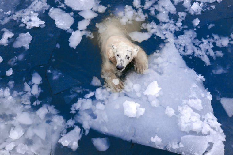 polar bear metling ice