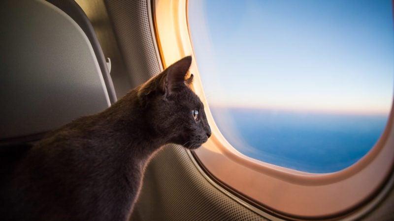 cat flying in plane