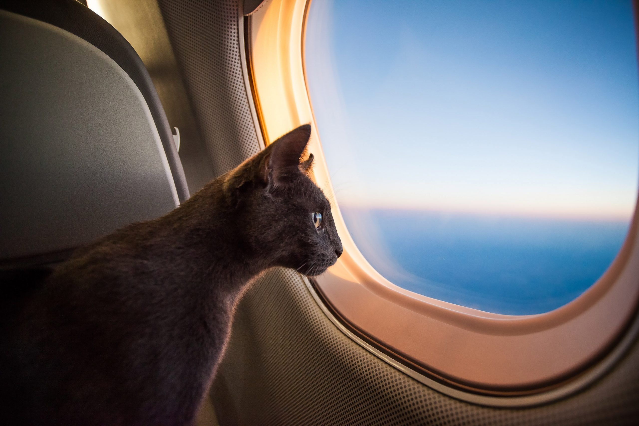 cat flying in plane
