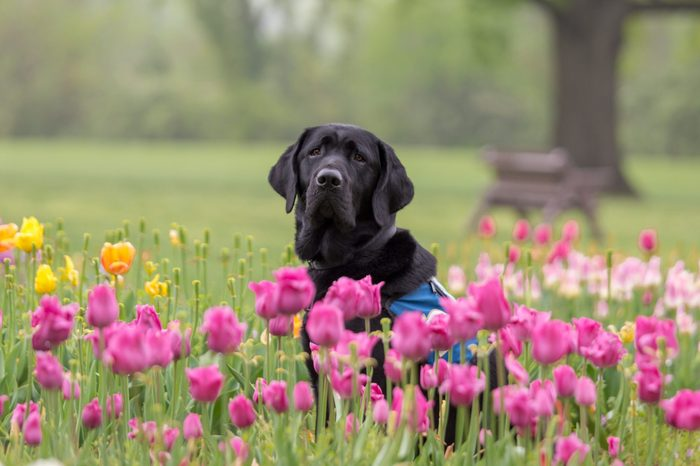 virginia black lab in a bed of tulips