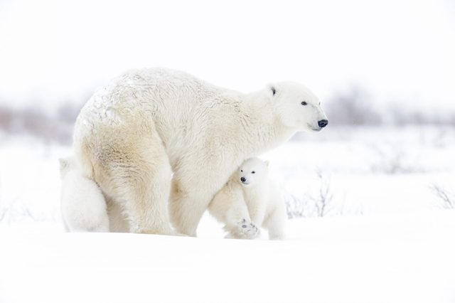 Polar bear mother with two cubs walking on tundra