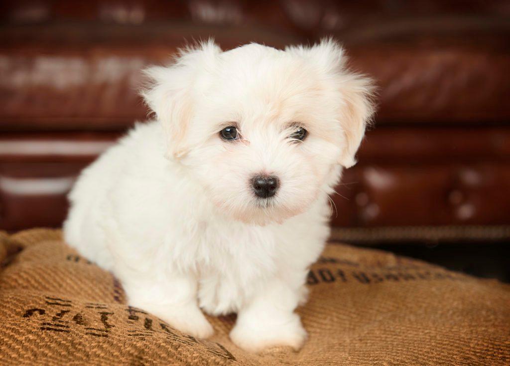 White Coton de tulear puppy