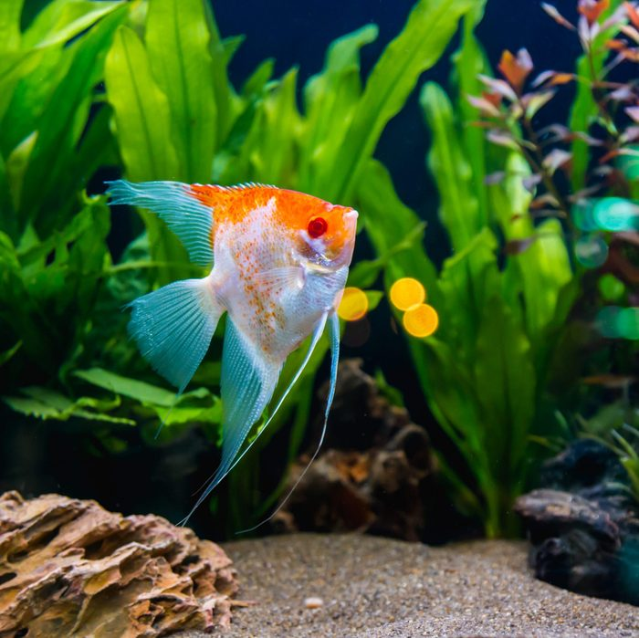 Angelfish in the tropical fish tank.