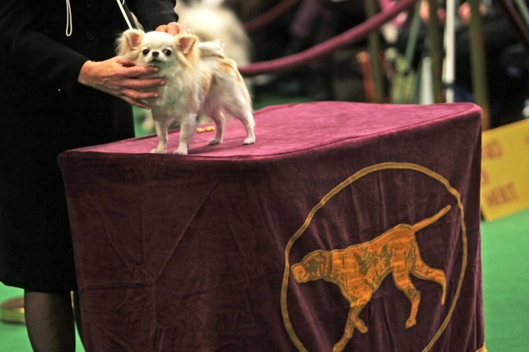dog westminster dog show