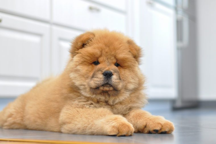 Purebred red dog chow chow puppy