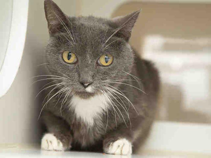Pawdrey Hepburn shelter cat