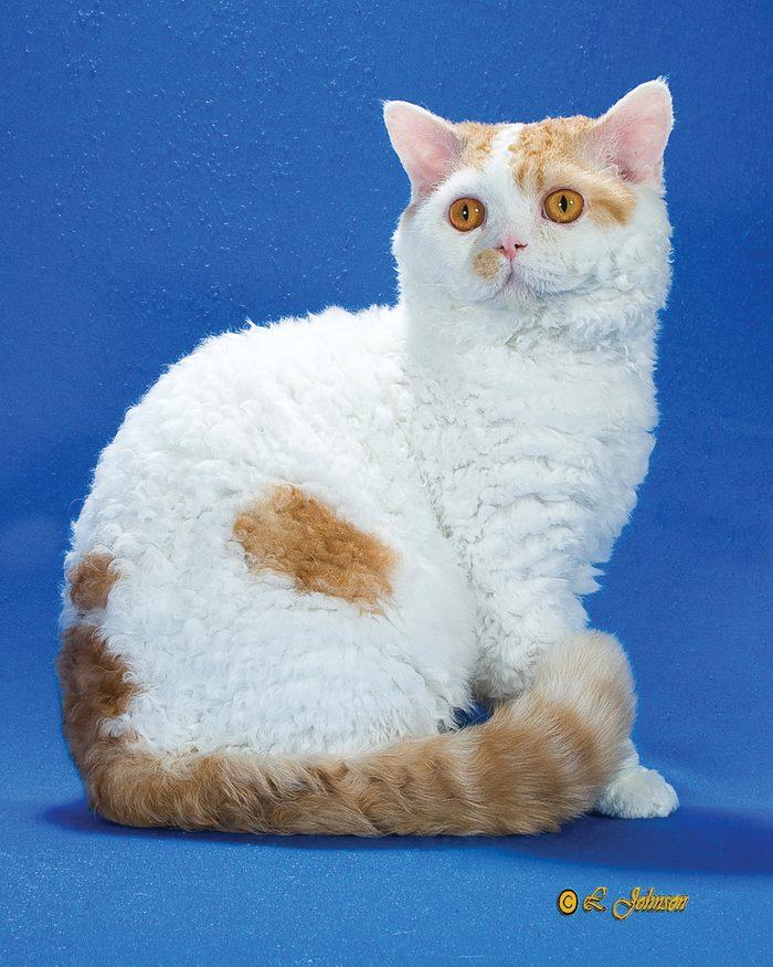 selk rex cat