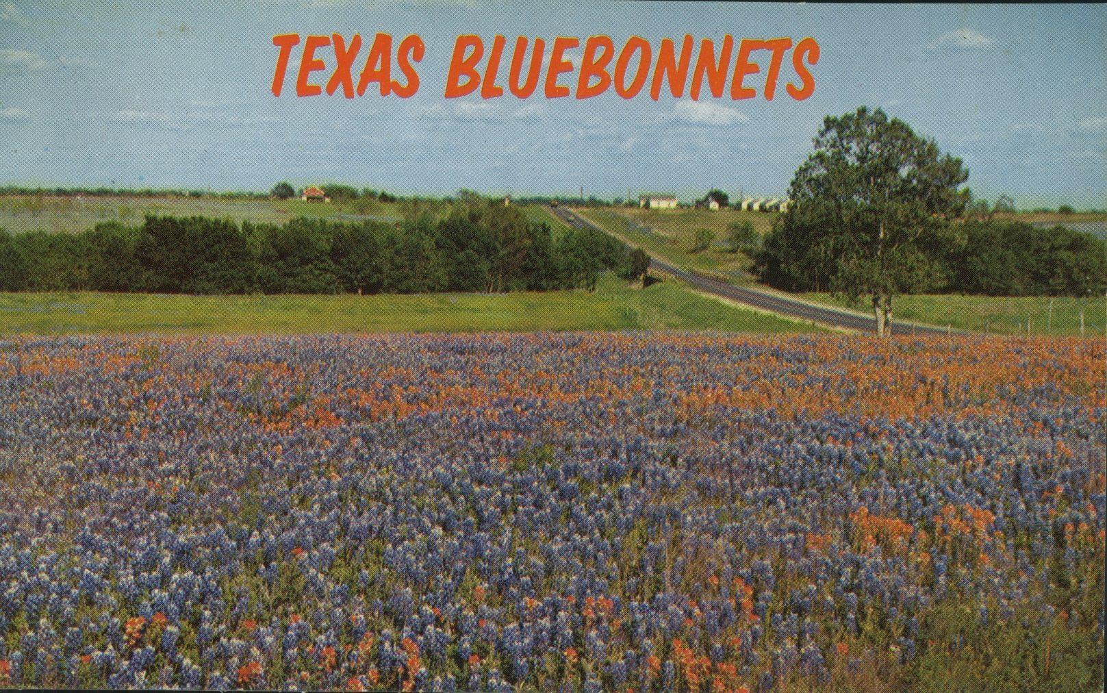 texas bluebonnets vintage post card