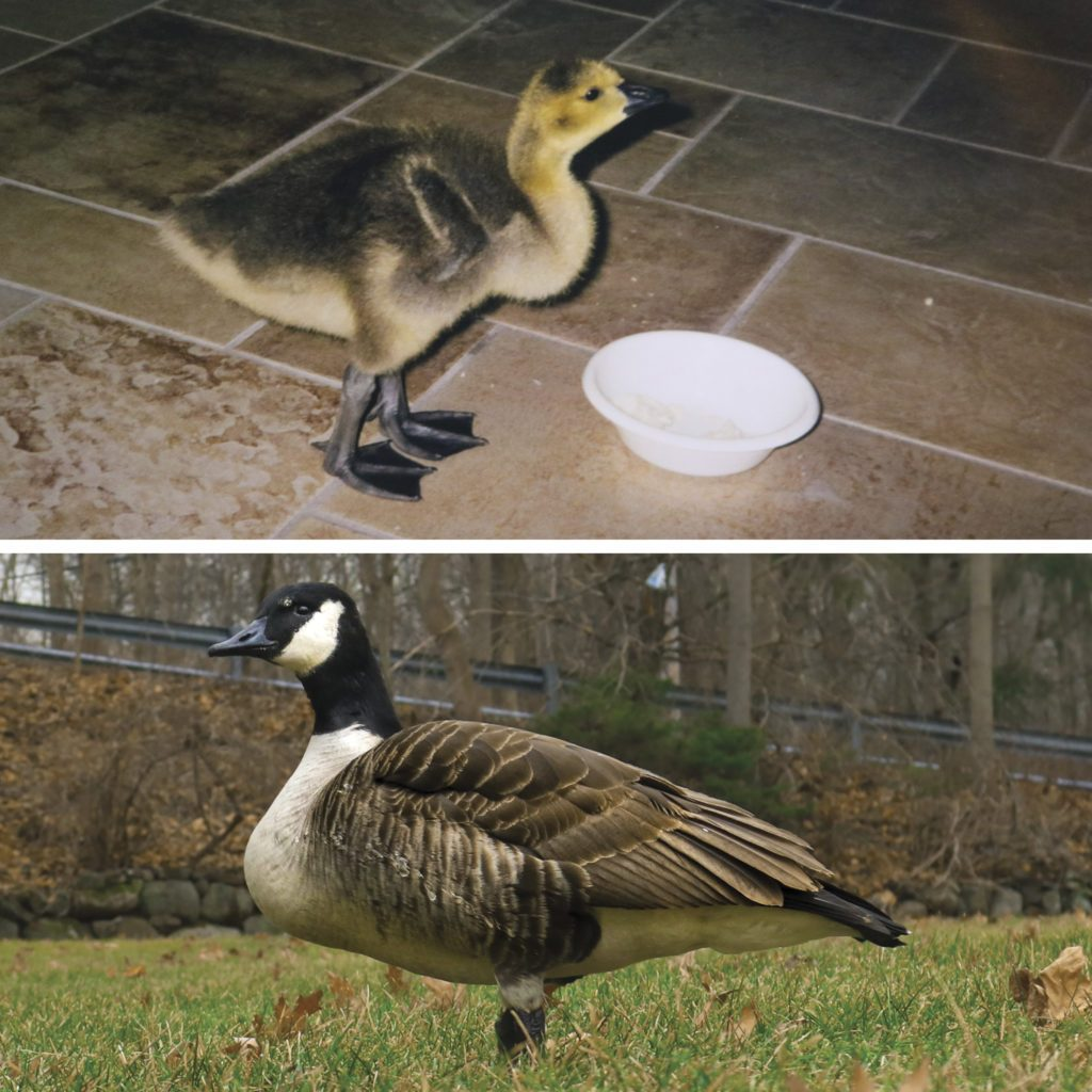 This Family Raised A Baby Goose For A Year 20 Years Later It