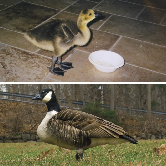 This Family Raised a Baby Goose for a Year—20 Years Later, It Returned Home