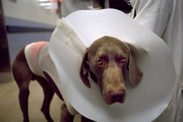 westminster dog show dog surgery enhancement