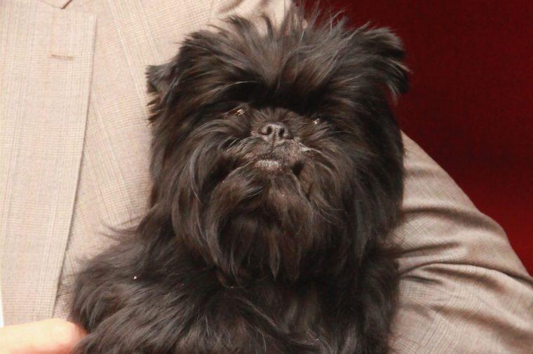 Affenpinscher dog lap dog