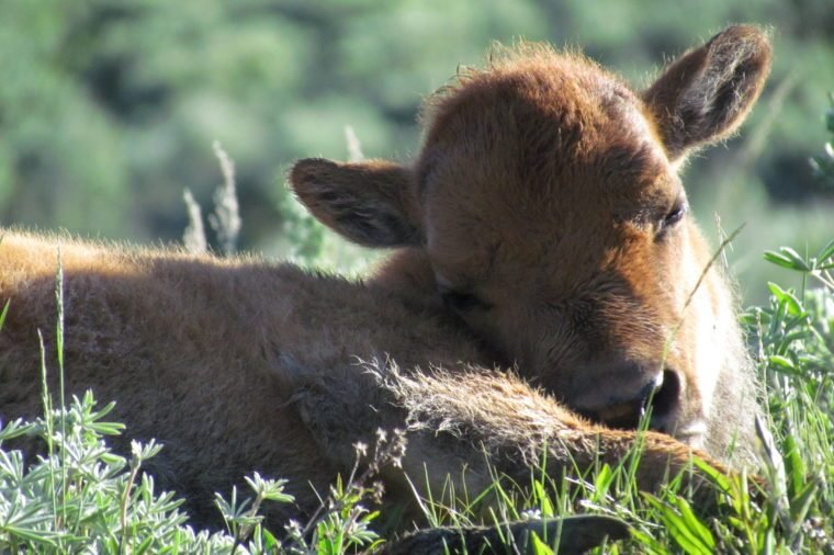yellowstone baby bison spring