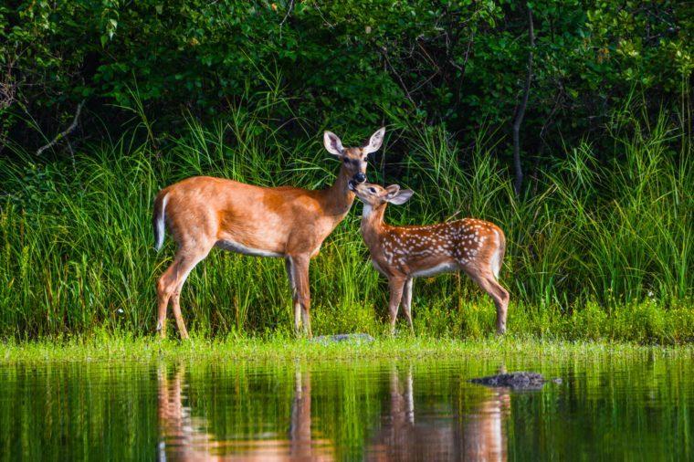deer water tranquil spring