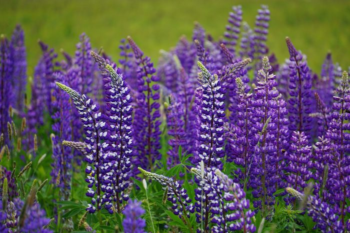 Acadia National Park field of lupine
