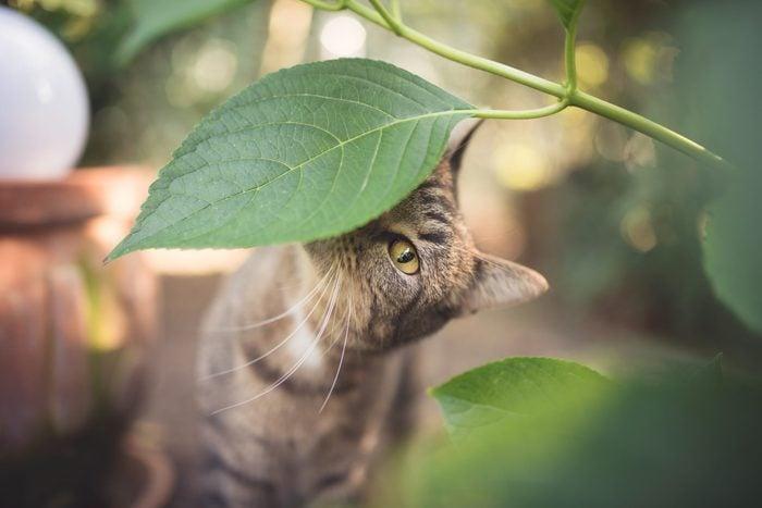 tabby european shorthair cat sniffing on leaves in the garden
