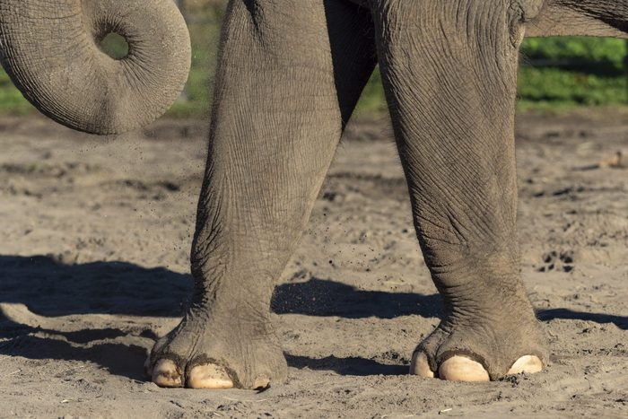 Asian Elephant Front Legs Standing in Sand