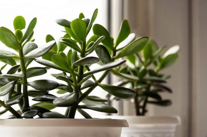 Crassula houseplant