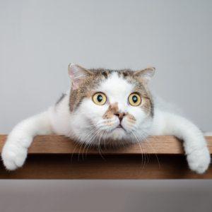 Can Cats Get Coronavirus?