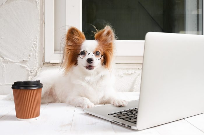 working dog. Cute dog is working on a silver laptop with a cup of coffee. Dog breed : Continental Toy Spaniel Papillon.