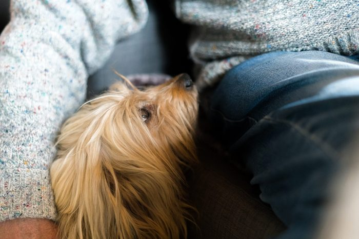 Senior mans hand wrapped around long haired pedigree dog. Blond domestic dog next to elderly man at home indoors, human friend